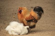 Brauner Hahn Und Weiße Junge ...