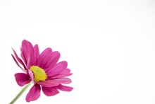 Beautiful Shot Of A Pink Flower With A Yellow Center On A White Background