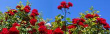 Red Climbing Roses Santana On ...