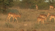 Impala Buck Doe Adult Breeding...