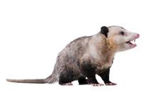 Adult Male Virginia Opossum (D...