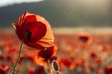 Open Bud Of Red Poppy Flower I...