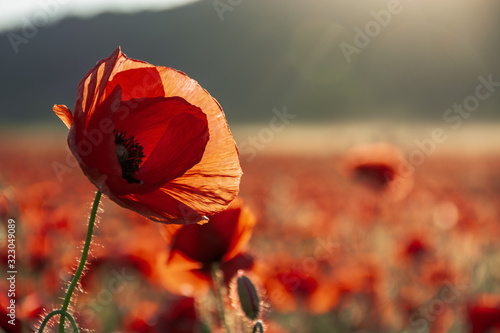 open bud of red poppy flower in the field. wonderful sunny afternoon weather of mountainous countryside. blurred background - 323049089