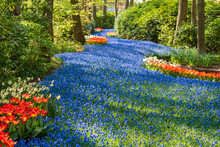 River Of Blue Grape Hyacinths Interspersed With Red Tulips At Keukenhof Gardens, Lisse, South Holland. Keukenhof Is Known As The Garden Of Europe.