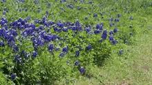 Field Of Blooming Bluebonnets ...