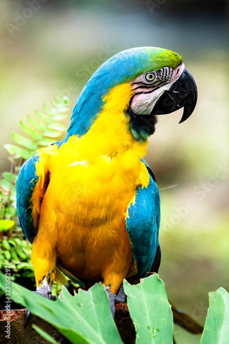 The blue-and-yellow macaw or Ara ararauna with yellow and blue plumage Wallpaper Mural