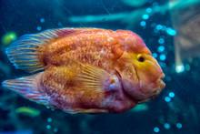Parrot Fish In Aquarium