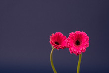 Two Pink Gerbera Flower Blosso...