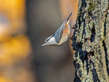 The Eurasian Nuthatch Or Wood ...