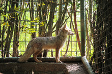 Cute Corsac Fox In The Cage In The ZOO