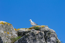Seagull On Top Of Rock