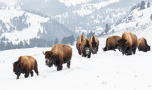 Yellowstone Bison In Winter Sn...