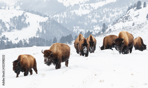 Fototapeta Yellowstone Bison in Winter Snows