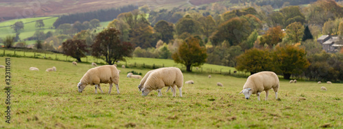Foto Field of white sheep in the highlands in Sky,Mountain range at sunset,Beautiful