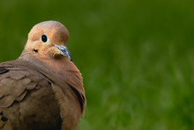 Mourning Dove, Zenaida Macrour...