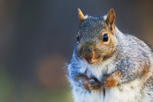 Eastern Gray Squirrel, Sciurus Carolinensis, Portrait With Winter Coat. Direct Eye Contact. Side Lit By The Setting Sun. Background Is Bokeh Of A Fall Forest.