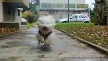 Happy Coton De Tulear Puppy Runs