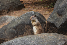 Squirrel In Yosemite Park