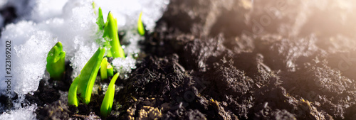 The first spring flower plant sprouts from the earth and snow in the sun. Awakening of nature. Early spring. Banner. Copy cpace - 323169202
