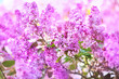 canvas print picture - Spring blossoming lilac flowers in garden, selective focus, toned, light bokeh background, pastel and soft floral card, shallow DOF