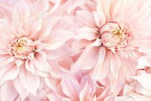 Pink Delicate Blossoming Dahlias, Summer Blooming Flowers Festive Background, Pastel And Soft Bouquet Floral Card, Selective Focus, Toned
