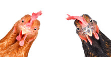 Portrait Of A  Funny Chickens,...