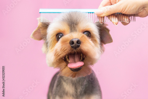 Fototapeta Dog gets hair cut at Pet Spa Grooming Salon