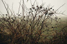 Dry Bushes In The Fog