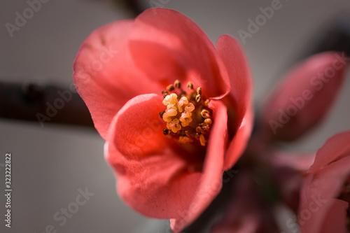 Fotografia Fleur du cognassier du Japon