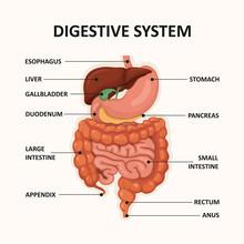 Human Digestive System, GI Tra...
