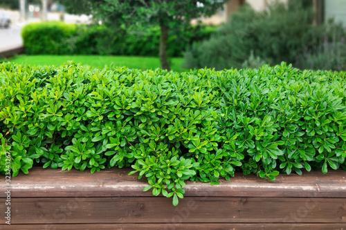 Decorative shrub with lush foliage Canvas Print