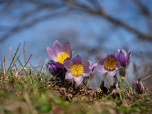 Group Of Pulsatilla Grandis Bl...