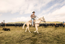 Cowboy Riding His Horse In Pen During A Branding. Cody, Wyoming, USA