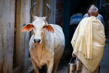 Holy Cow In The Streets Of Varanasi