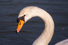 Face Of Mute Swan (Cygnus Olor) Close Up With Water Drops On Its Neck