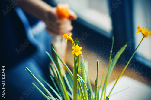 Care for a home plant - a yellow flowering daffodil, which is moistened by spraying from an orange plastic water bottle Wallpaper Mural