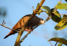 Redbush Dove (Columbina Talpac...