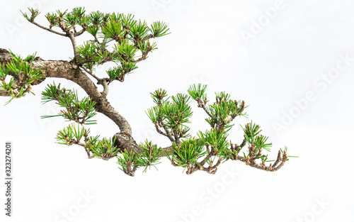 Obraz A close-up of the branches of a pine bonsai isolated on white background. - fototapety do salonu