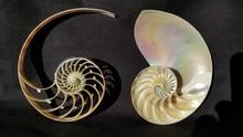 Chambered Nautilus Shell Secti...