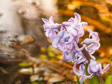 Soft Focus Image Of Hyacinth Flowers Blooming At Springtime Near A Pond.