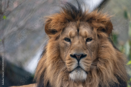 Fototapety, obrazy: Portrait of male lion