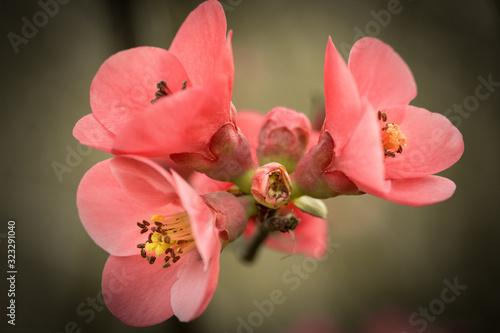 Fleurs de cognassier Fotobehang