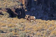 Rocky Mountain Bighorn Sheep N...