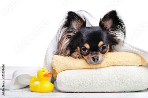 Photo Close-up portrait of a chihuahua laying on towels