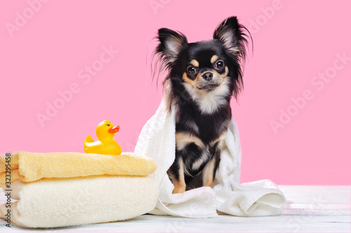 Canvas Chihuahua after  bathing against pink background