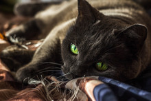 Portrait Of A Grey British Cat With Green Eyes In The Sun