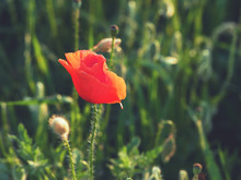 Closeup Of Red Poppy On Cereal Field.  Papaver Rhoeas Common Names Include Corn Poppy , Corn Rose , Field Poppy , Red Poppy , Red Weed , Coquelicot .