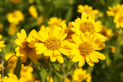 Arnica foliosa yellow flowers in grden Canvas Print