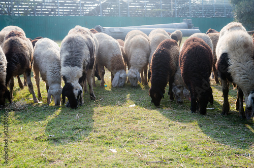 Flock of Domestic Sheep, Ewe, Lamb, Ram (Ovis aries species genus) grazing in a sheep farm in Summer Sunset Canvas Print