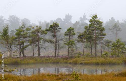 Fototapeta pines and lake in swamp,early morning,mist obraz na płótnie